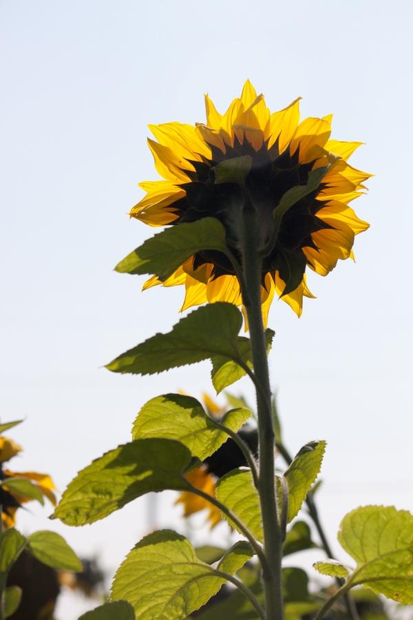 20110205_11_sunflower_06