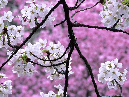 cherry_blossom_1600x1200