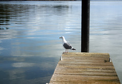 Seagull on Dock