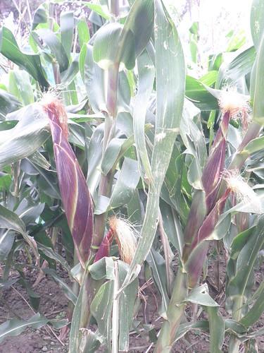 糯米玉米12
