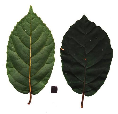Maesa dependens var. pubescens