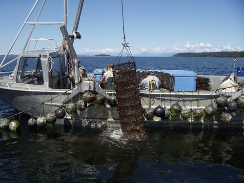 Qualicum Bay scallop harvest