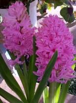 Hyacinth - Lafayette Florist & Greenhouses in Lafayette, Colo.