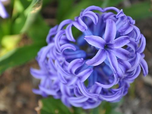 Hyacinth love