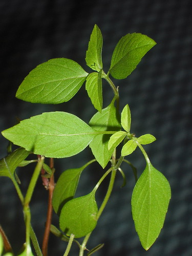 overwintered thai basil by WithinSeason