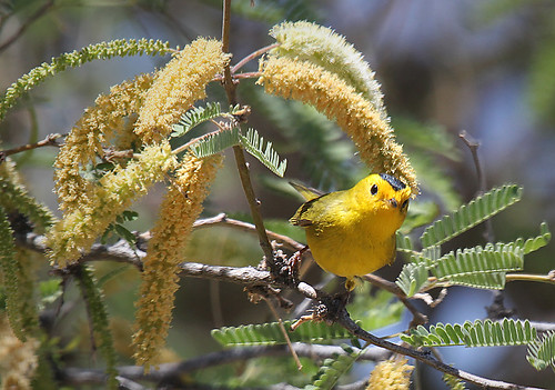 Wilson's Warbler by SearchNetMedia