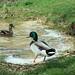 Quakcker jack quack