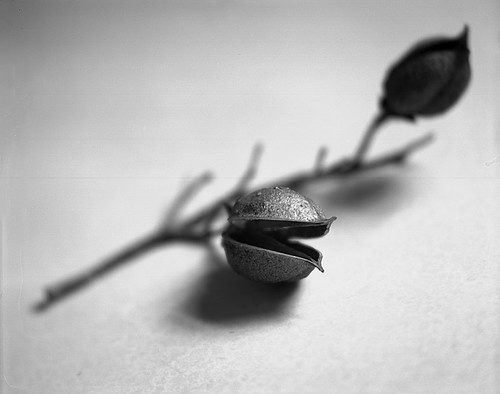 Seed pod...