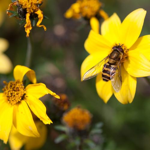 something bee-ish on flower