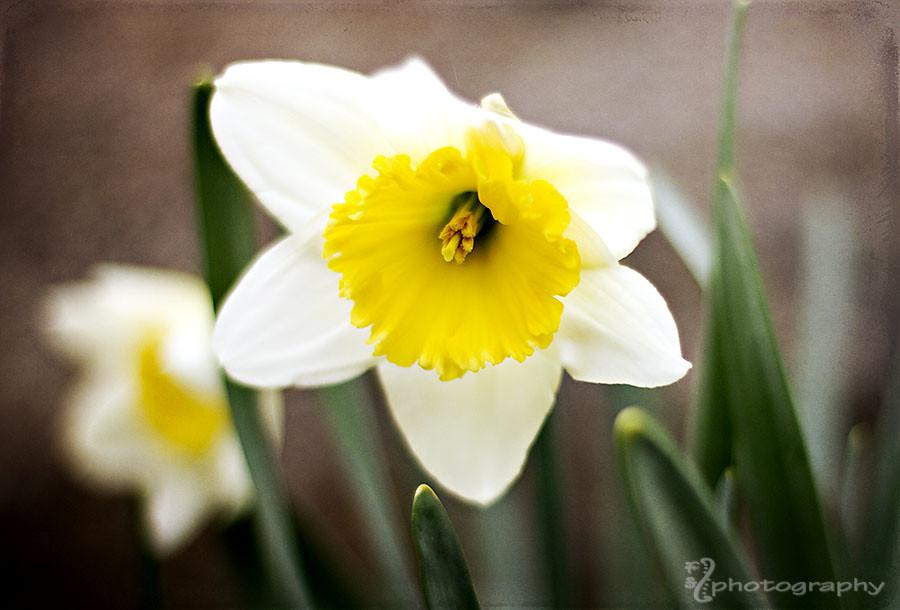Daffodil debut (2)