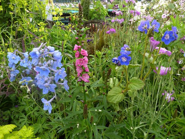 Sidalcea hendersonii & Phacelia viscida Garden  copy