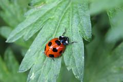 生田緑地のナナホシテントウ(Ladybug, Ikuta Ryokuchi Park, Kawasaki, Kanagawa, Japan, 2011)