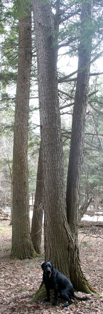 Eastern Hemlock trunk with holes (and dog)