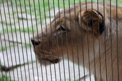Loud Lion