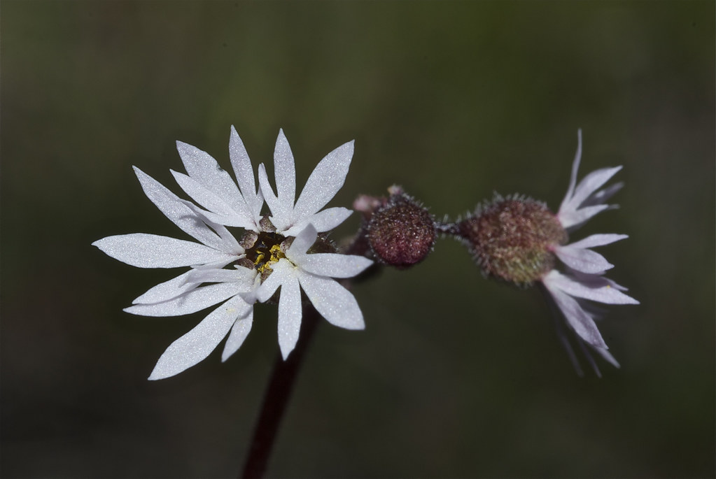 Small-flowered Woodland Star