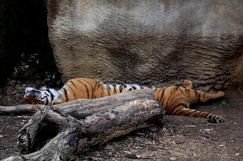 Dozing Tiger
