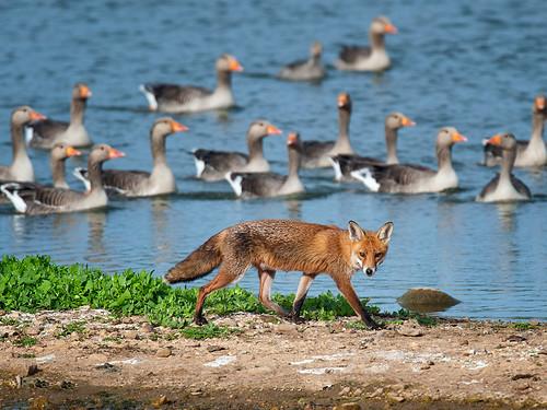 Red Fox among Greylag Geese