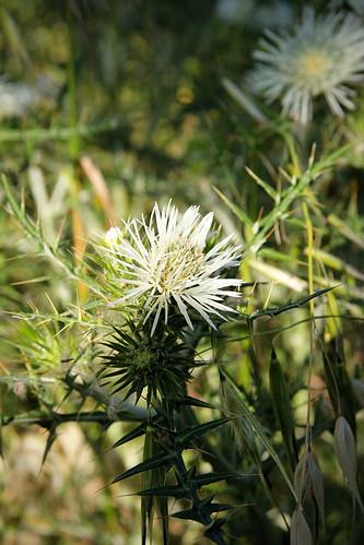 Spiky-flower-Burmarrad