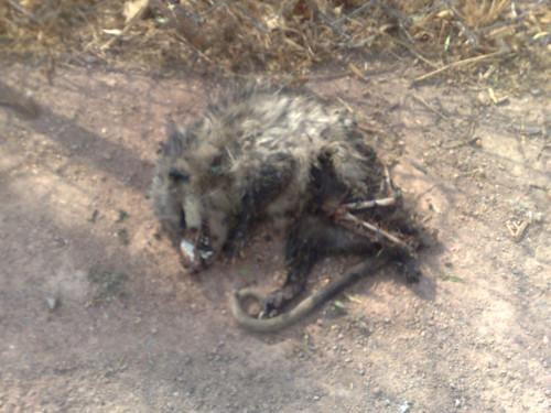 Macabro hallazgo 1: tlacuache muerto