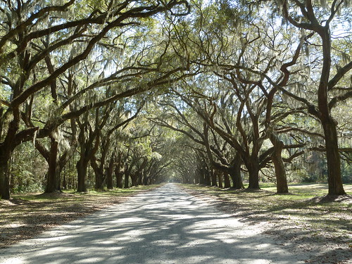 Live oaks at Wormsloe plantation