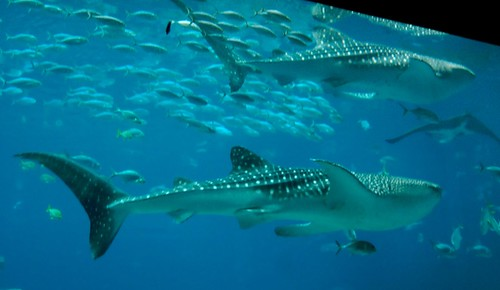 Whale Sharks 3