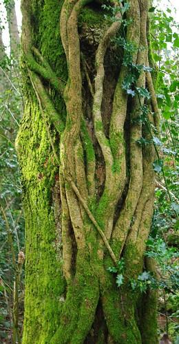20110227-03_Ivy fingers strangling tree by gary.hadden