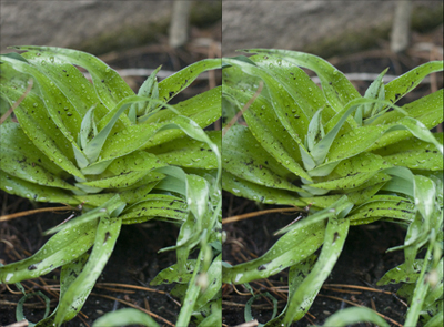 Iris bucharica stereoscopic