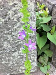 青山霊園のキキョウソウ(Flower at Aoyama cemetery, Yokyo, Japan)