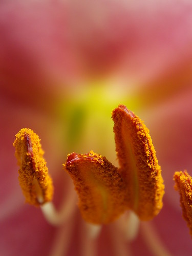 It Came Out of the Pink! (Ali Cihan Ozsut) pink flower art nature nikon lily zoom pollen lilium l810