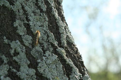infestation-caterpillars