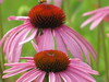 Cone Flower, I think by Mayrie