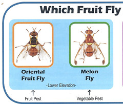 Do You Have Fruit Flies? | South Maui Sustainability