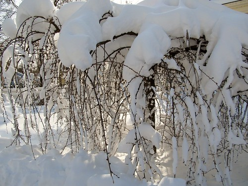 Snow-bowed
