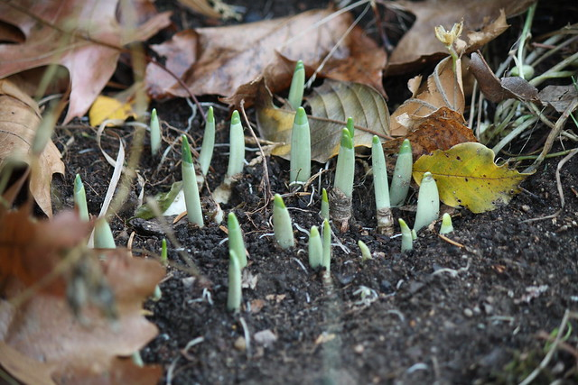Daffodils poking up in November
