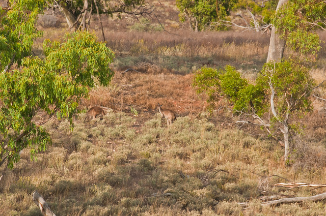 Spot the kangaroos!