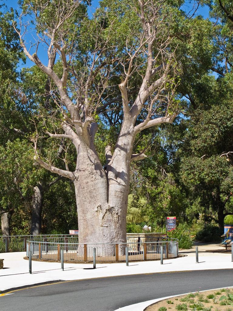 Baob tree in King's Park