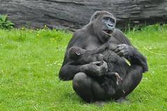 Westlicher Flachlandgorilla Sangha mit ihrem Sohn Mosi im Gaia Park Kerkrade