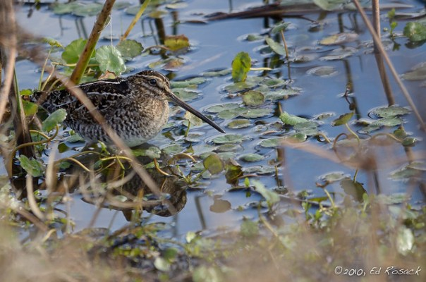 Wilson's (Common) Snipe