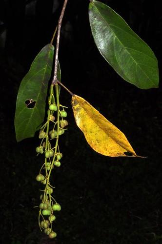 Mallotus polyadenos (Kamala)