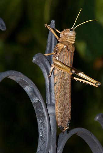 Tucura Quebrachera (Eutropidacris cristata)