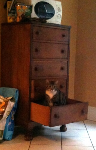 Ozzie the Cat in Chester Drawer
