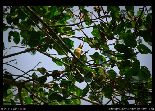 Golden Oriole | Kabini