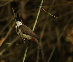 Red-whiskered Bulbul spotted.