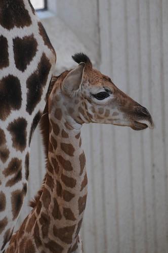Rothschild Giraffe Jimiyu im Gaia Park Kerkrade im August 2010
