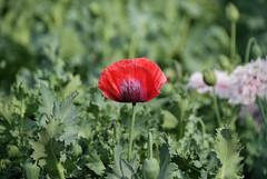 Opium Poppy Flower in Tokyo Metropolitan Medic...
