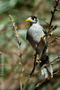 Noisy Miner Bird - Chris Schultz