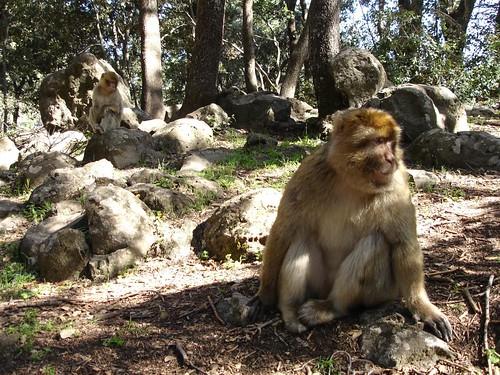 Macacos Livres nas Florestas de Azrou