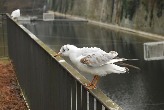 Gull @Schanzengraben, Zurich
