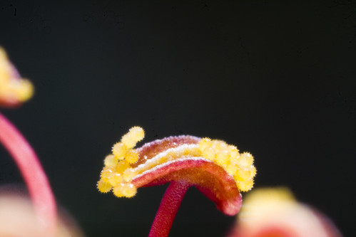 Pollen of Hibiscus by Sinu S Kumar
