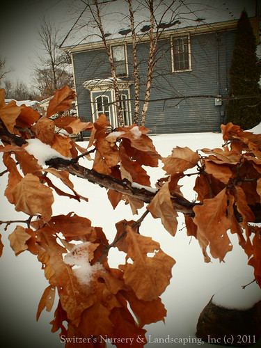The rustle of the colorful oak leaves - Landscaping for Winter Interest - the ART of Landscape Design
